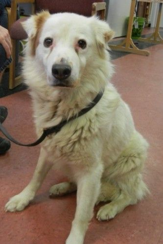 Hercules - Australian Shepherd/American Eskimo mix -  Mendocino County Animal Care Services Ukiah, CA. 2 yrs old. This sweet beauty is one of many dogs who recently came to us from a hording situation. And like most of them he is shy due to lack of socialization and individual attention.