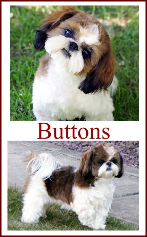 Shih Tzu puppies for sale in Indiana. Breeder of Shih Tzu Puppies