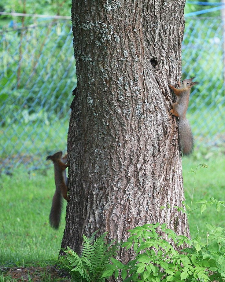 Two squirrel playing in the tree.
