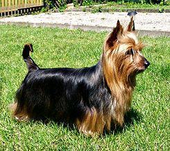 El Silky terrier australiano es una raza canina pequeña de tipo terrier. La raza fue desarrollada en Australia, aunque los antepasados de los ejemplares eran de Gran Bretaña. Está estrechamente relacionado con el terrier australiano y Yorkshire terrier. En Norteamérica a la raza se le llama sencillamente Silky Terrier, mientras que en su país de origen —así como en el resto del mundo— se le llama Australian Silky Terrie
