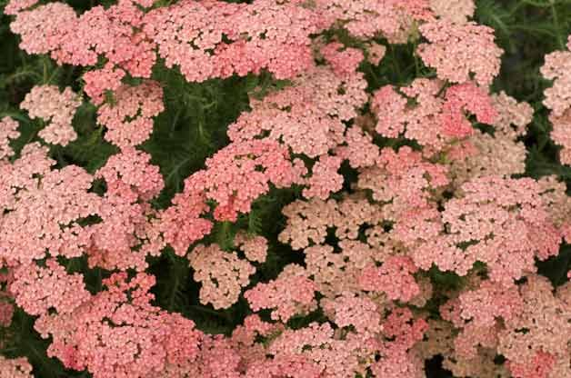 Top 10 Plants for Sandy Soil: Yarrow. Achillea • Achillea • Zones 3 to 9 Lacy flower heads top each stem of yarrow. Varieties range from a short 6 inches to more than 4 feet tall. This hardy bloomer thrives in full sun and should be divided in spring for the optimal summer show.