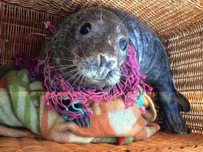 Dit Grijze zeehondje werd verstrikt in een net in de buurt van Den Haag gevonden.We hebben hem Hulk genoemd, omdat hij zich zo dapper hield bij het losknippen van het net!