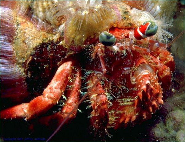 relationship between boxer crab and sea anemone