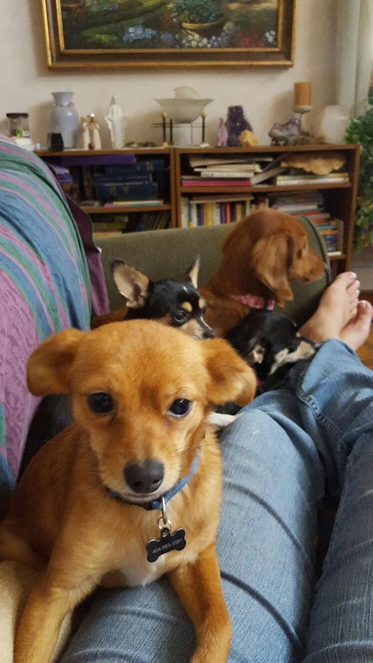 Adopt wookie on wookie dachshund mix chihuahua
