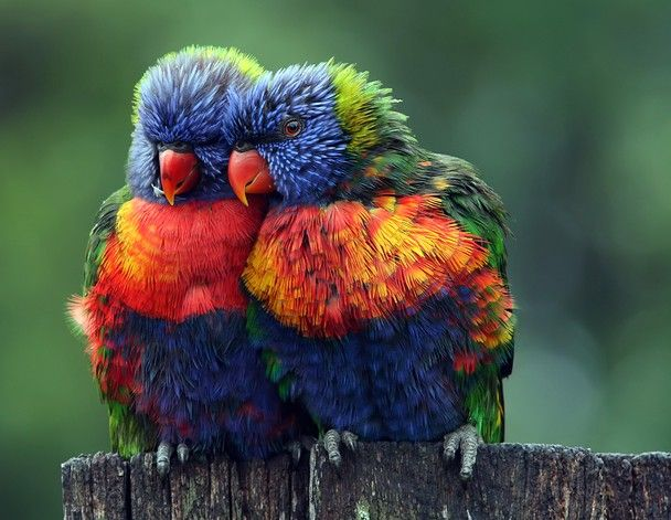 Lean on Me by Lesley Smitheringale, nationalgeographic: Rainbow lorikeets in Redlands, Queensland, Australia.: