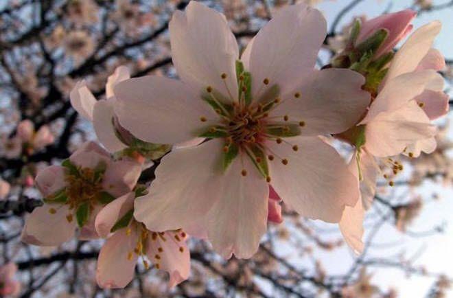 La sakura (桜 o さくら) o Flor del Cerezo Japonés .  flores mas hermosas del mundo flores de cerezo