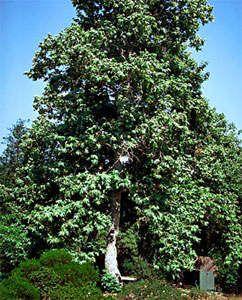 Sycamore Tree - Shade Trees - Willis Orchard Company