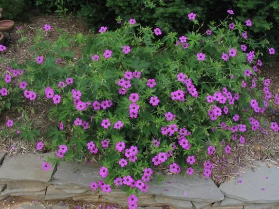 geranium psilostemon - Google Search