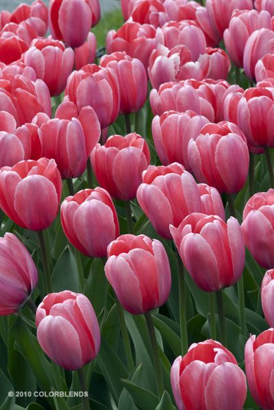 "Tulip Best Pink Pink Impression| Perennial Tulips Bulbs for Sale | COLORBLENDS 22"" late April/May"