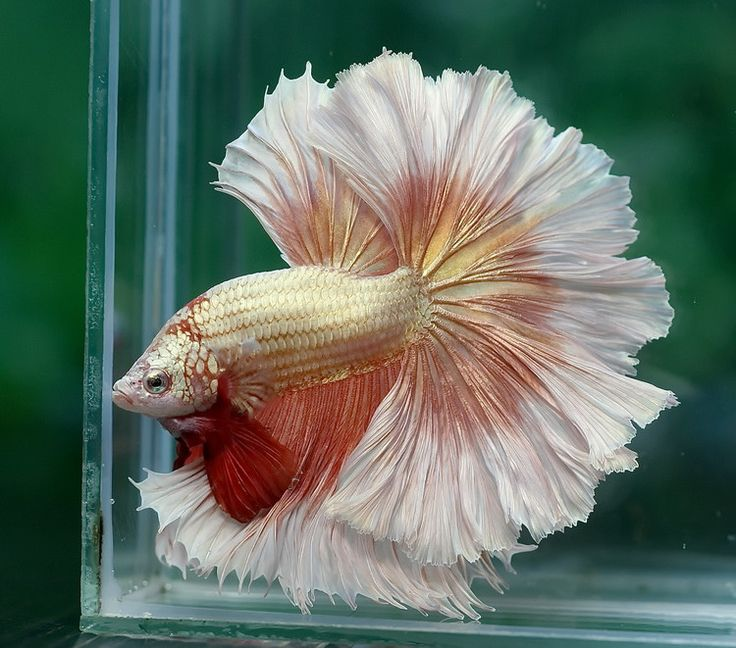 Pink and White Butterfly Rosetail Male Betta