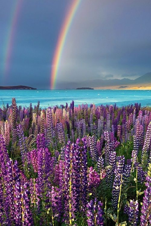 Rainbow and lupins at Lake Tekapo in the South island of New Zealand