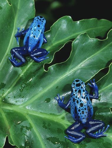 poison dart frog                                                                                                                                                                                 More                                                                                                                                                                                 More