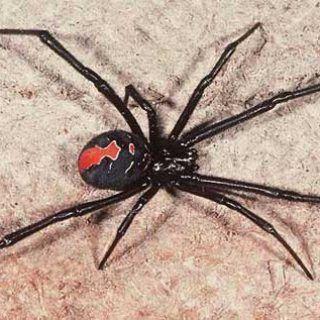 Yapılan Araştırmalar Felç Tedavisinde Örümcek Zehrinin Etkili Olduğunu Söylüyor!