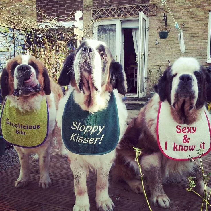 17 Best Images About Pins For Pets On Pinterest: 17 Best Images About St. Bernard Pictures On Pinterest