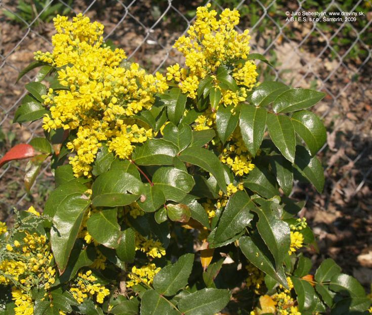 Tall Oregon Grape Apollo | Mahónia ostrolistá Apollo | Mahonia aquifolium Apollo