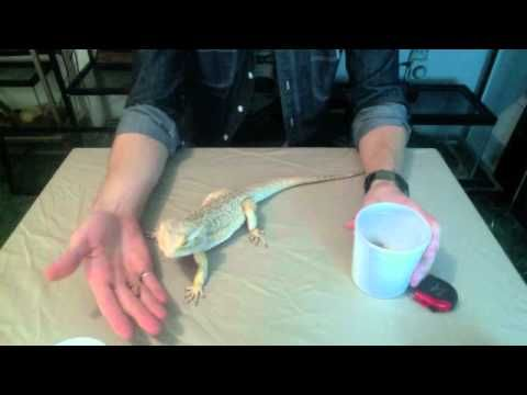 Bearded Dragon Care and Introduction.