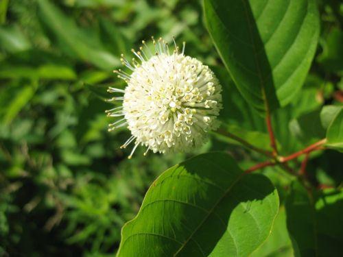 英語名:Buttonbush 学名:Cephalanthus occidentalis 和名:アメリカタニワタリ エスペエラント名:Cefalanto (laŭ mi) 北米原産
