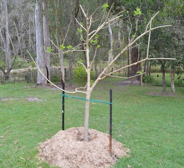 Mulberry tree transplanted in new location and staked