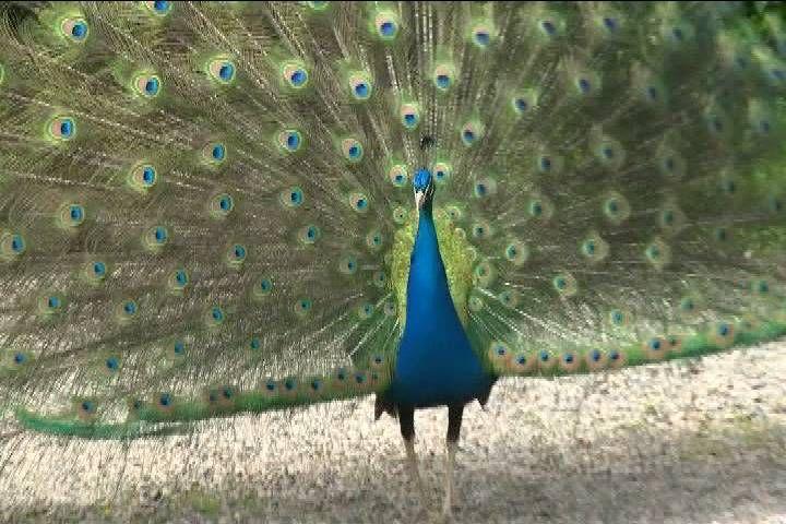 WATCH: Peacocks ruffle feathers in Naramata