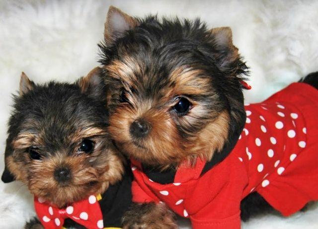 17 meilleures images propos de ducation canine sur - Modele de coupe pour yorkshire terrier ...