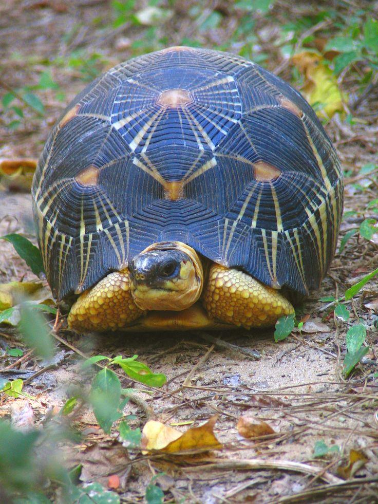 Tortuga radiada, Madagascar por Teague O'Mara: Estas tortugas están en peligro crítico debido a la pérdida de hábitat, saqueados por su carne y siendo vendidas en el comercio de mascotas.