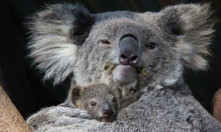 Un cucciolo di koala