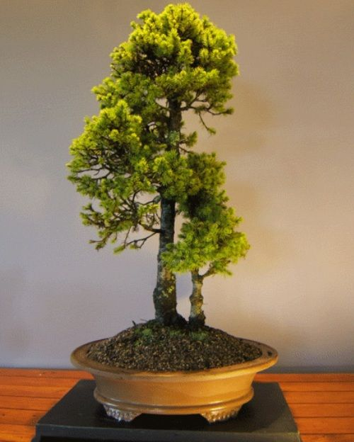 The Most Beautiful And Unique Bonsai Trees In The World-homesthetics (22)