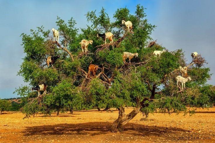 Fas'ta tek hobisi ağaçlara tırmanmak olan keçiler karşınızda 1