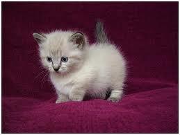 Mein Munchkin.   – Katzen 1