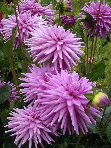 Purple dahlias // Great Gardens & Ideas //