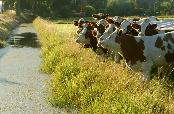 Koeien - Fotografie Harry Mijland