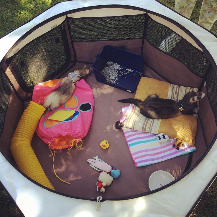 Foldable playpen for ferrets, L size. It's actually for dogs, but it's perfect for my little carpet sharks, with lots of space and easy to carry everywhere. We used it at a BBQ in a park, and they were comfortable and safe. It also has a mesh cover, not pictured here, to cover the playpen entirely, and to let fresh air circulate. Great for outdoors! #ferret