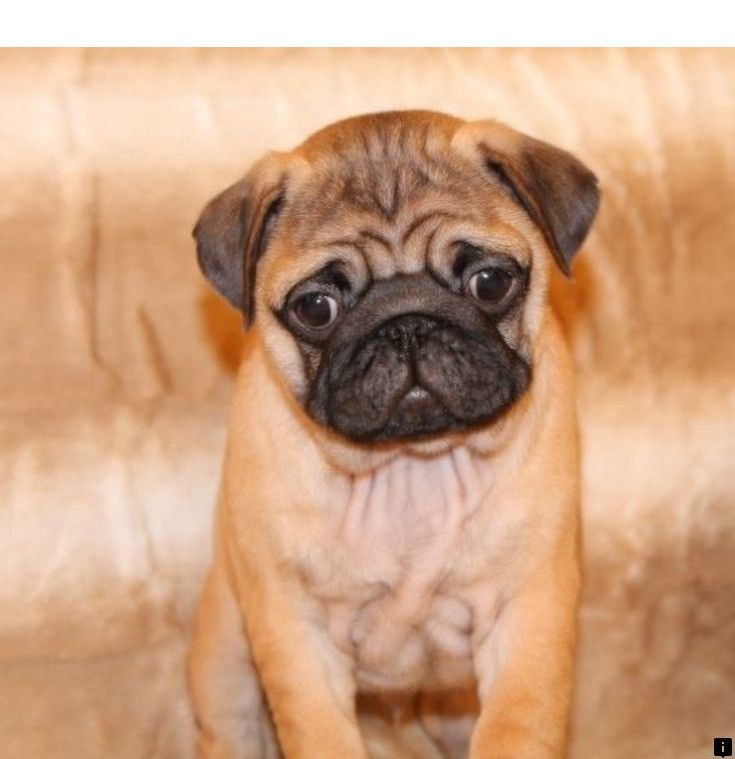 Head To The Webpage To See More About Baby Pugs For Sale Check