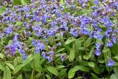 Hairy boraginacea like  pulmonaria blue ensign