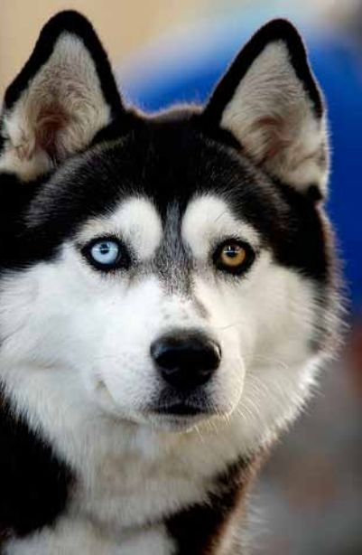 I have ALWAYS wanted a Siberian Husky. Cannot wait to finally get a house and have one of my own!
