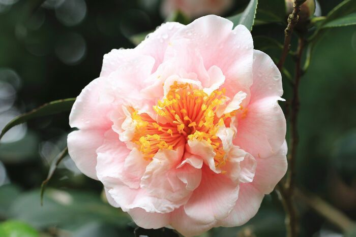 How Will Camellia Flower Meaning Japan Be In The Future Camellia Flower Meanin Camellia Flower Future Japan Me In 2020 Flower Meanings Camellia Flower Flowers