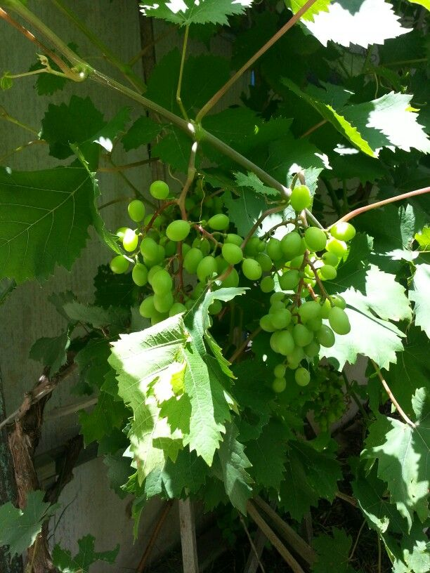 The grapes are getting bigger!