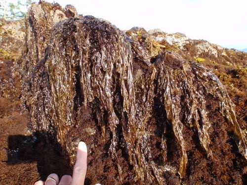 17 best images about native food plants of the pacific northwest  seaweed and kelp on pinterest