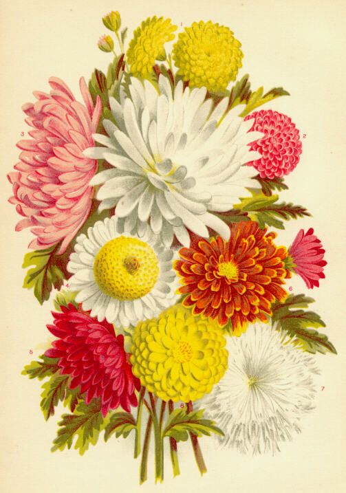 Vintage flower prints ... carnations, dahlias and other blossoms.