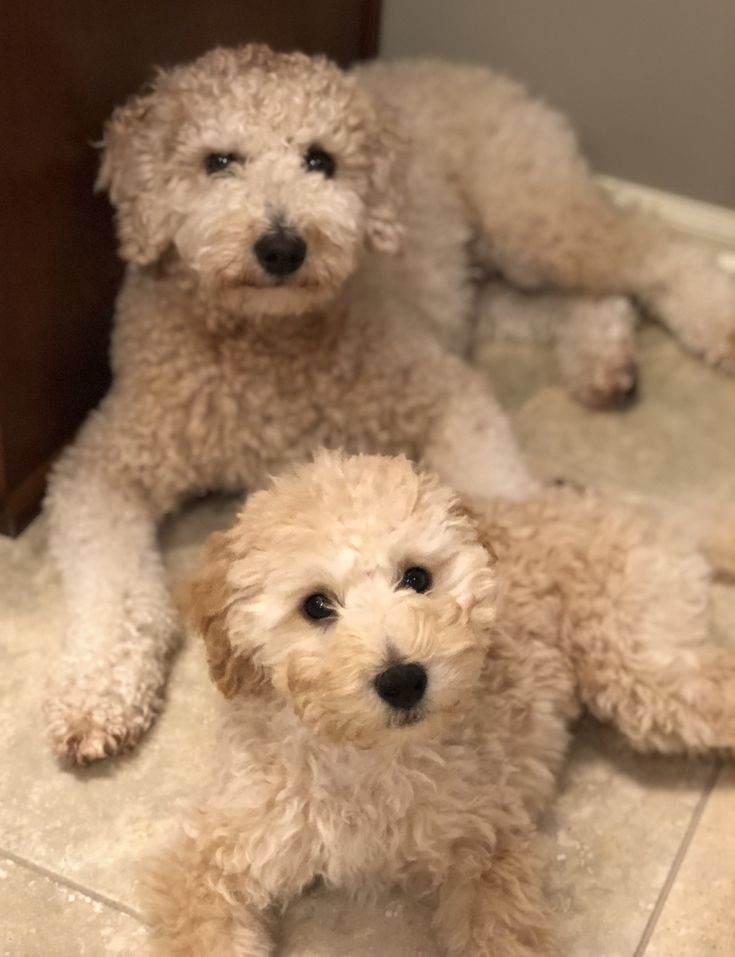 Goldendoodles teddy and bear goldendoodle dogs teddy
