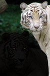 Ch.14- Tiger,Tiger. The brothers finally come together once again in one momentous moment.  #tcpinterest
