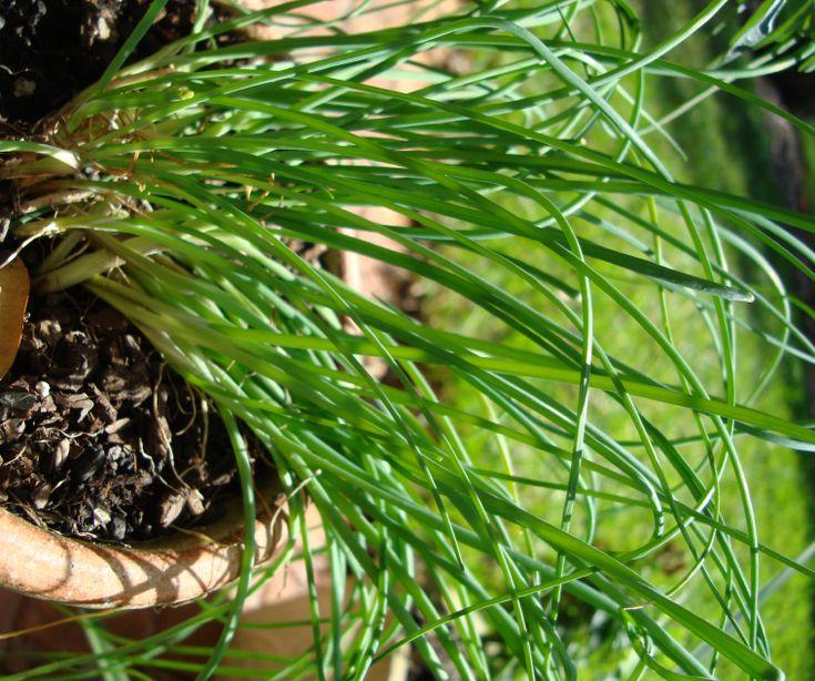 les 145 meilleures images du tableau herbes aromatiques sur pinterest herbes aromatiques. Black Bedroom Furniture Sets. Home Design Ideas