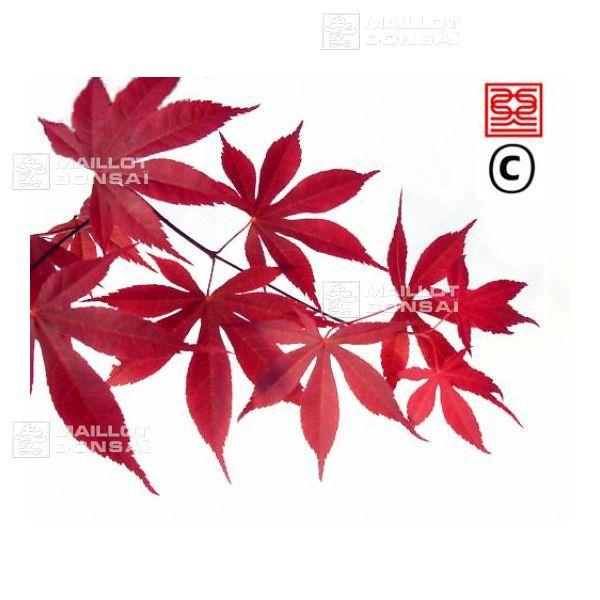 acer palmatum carminium  Feuille rose vif à carmin au printemps, verdissant en été, rouge orangé en automne (2m) Sol humide, souple, profond, bien drainé dans de la terre de bruyère, terreau acide. Exposition soleil doux et voilé ou mi-ombre et même ombre, dans un lieu abrité des vents froids et secs.