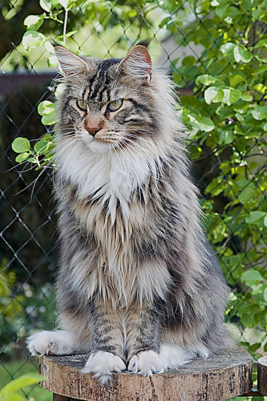 #MaineCoon #Black #Tabby #Blotched #White  #Cats Maine Street Sir Lancelot
