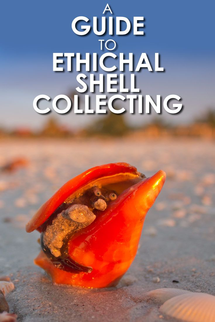 Love collecting sea shells? This ethical shelling guide will help you collect sea shells responsibly. via @travel4wildlife