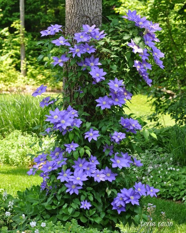 --- Clematis growing on a wire frame around the tree ---