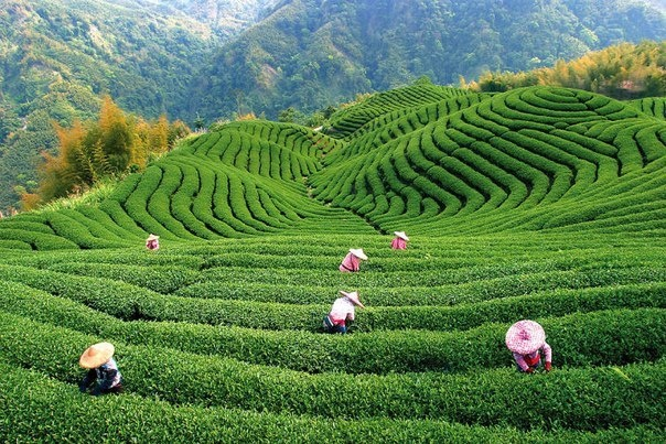 Tea plantations, China