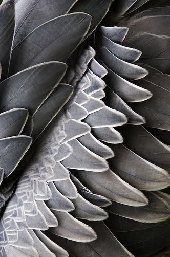 #grey #feathers #texture