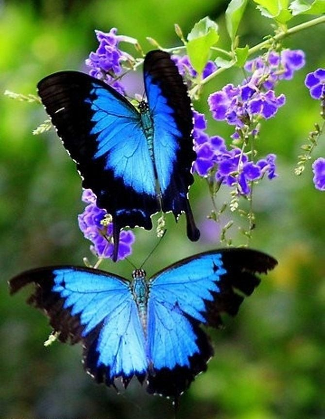 Blue #butterfly #photography