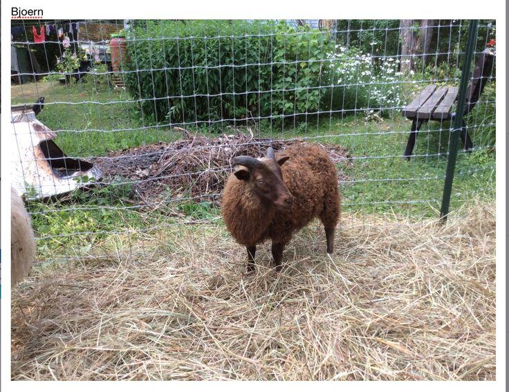 Bjoern: Icelandic sheep...ram lamb July 2015